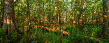 Along the Palmetto Trail in Barataria Preserve at Jean Lafitte National Historical park and Preserve.
