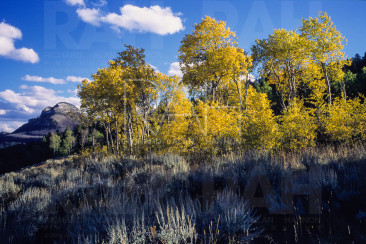 Aspens trees and Heart Mountain in Fall.