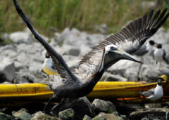 A Brown Pelican takes flight near a containment boom that has washed ashore on Queen Bess Island north of Grand Isle Wednesday.