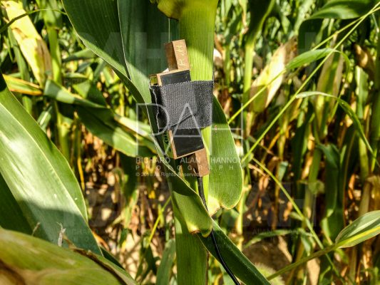 Recording the sound of cornstalks moving in the breeze, using a pair of contact microphones attached to two stalks, at a Mennonite farm north of Mansfield, Ohio on Thursday, September 1, 2016. Photo by Richard Alan Hannon
